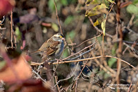 1003PS White-throated Sparrow - Concord Community Garden - Concord, NH 10-26-16