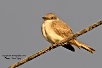 1002PS Gray Kingbird lit by the light of the setting sun - Hyannis, Cape Cod, MA 10-26-16