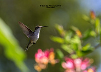 08-20-14  Ruby-throated Hummingbirds at Concord Public Gardens - Concord, NH
