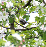 Black-capped Chickadee 04-30-12