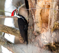 03-07-14 Stalking A Pieleated Woodpecker