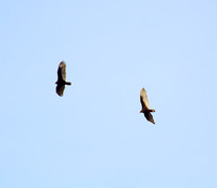 A pair of Turkey Vultures that came by.