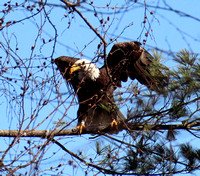 CT River Eagles, Hinsdale NH 03-17-12, plus a few other species.