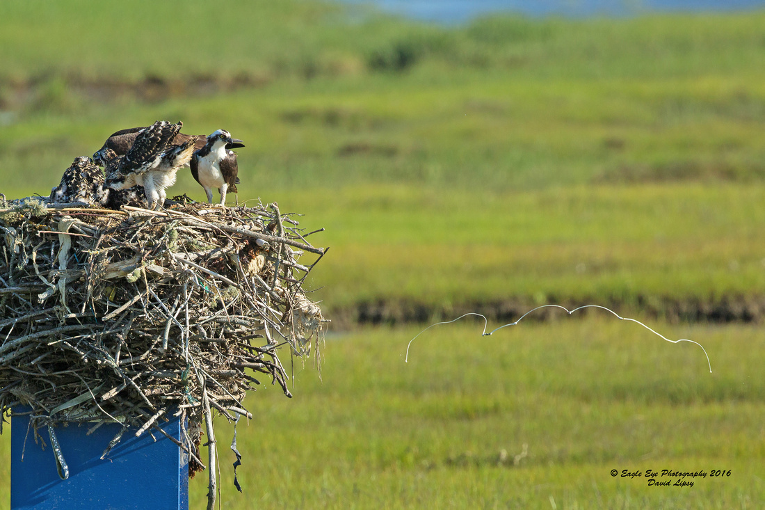 1009PS Osprey Poop Shot Contest- Mountain Profile - Weir Creek -  Bass River - West Dennis Beach - West Dennis, Cape Cod, MA 07-01-16