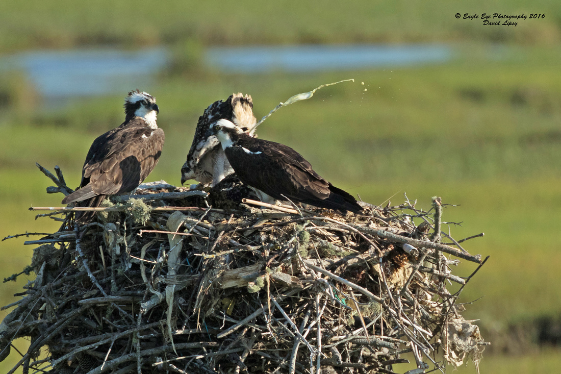 1002PS Osprey Poop Shot Contest - Weir Creek -  Bass River - West Dennis Beach - West Dennis, Cape Cod, MA 06-29-16