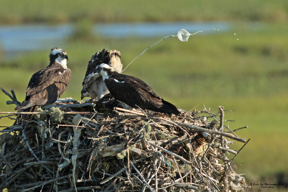 1003PS Osprey Poop Shot Contest- The Flower - Weir Creek -  Bass River - West Dennis Beach - West Dennis, Cape Cod, MA 06-29-16