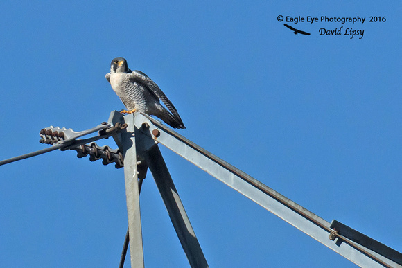 1006PS A Peregrine Falcon prepares to take off from its perch on a transmission tower in the Post Office Fields - Concord, NH 11-08-16