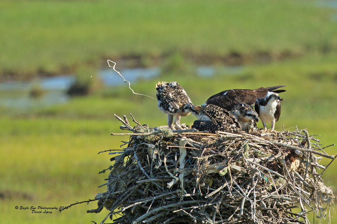 1012PS Osprey Poop Shot Contest- The Snake - Weir Creek -  Bass River - West Dennis Beach - West Dennis, Cape Cod, MA 07-01-16