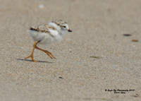 1006 6-day old Piping Plover chick - Hampton Beach State Park - Hampton, NH 07-09-15