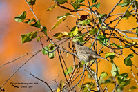 1008PS Female House Finch - Concord Community Garden - Concord, NH 10-26-16