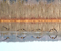 Canada Geese - Mirrored on Turee Pond