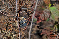 1007PS White-throated Sparrow - Concord Community Garden - Concord, NH 10-26-16