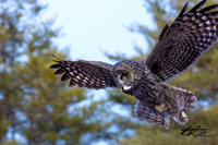02-07-13 Great Gray Owl!!!