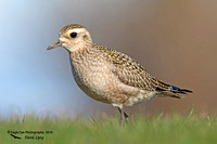 1008*PS American Golden-Plover - Rye Harbor State Park - Rye, NH 11-11-16