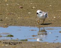 1021 Juvenile Piping Plover - Monomoy National Wildlife Refuge - Chatham, Cape Cod, MA 08-06-14