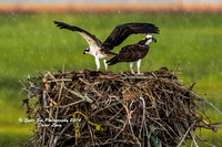 1010 A large storm arrives as an Adult female Osprey and her fledgling get ready for her first flight - Weir Creek, Bass River - West Dennis, Cape Cod, MA 08-08-14
