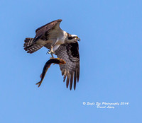 04-11-14 Osprey at South Marsh - Concord, NH