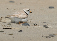 1013 An adult covers up one of its 6-day old Piping Plover chicks - Hampton Beach State Park - Hampton, NH 07-09-15