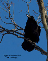 1003PS Common Raven - Concord, NH 12-21-16